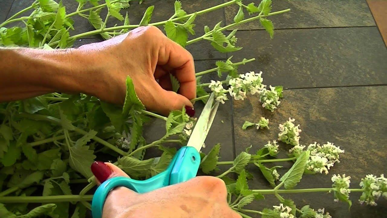 How And When To Harvest Catnip